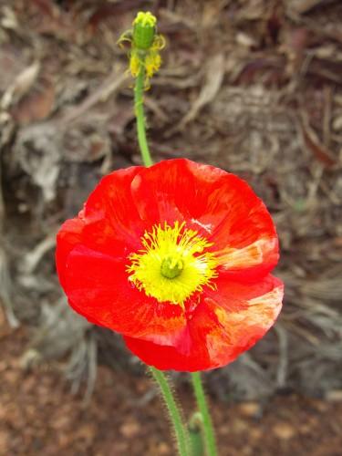 spring-6poppy