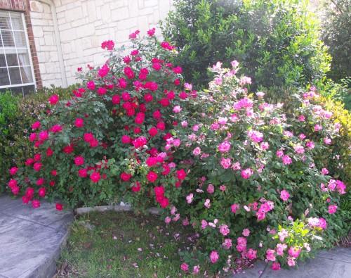spring-7-rose
