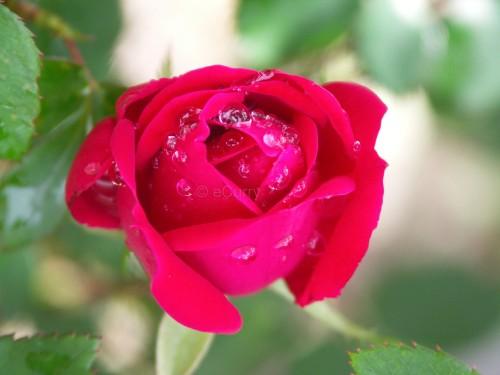 spring-8-rose1