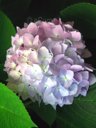hydrangea 1 copy
