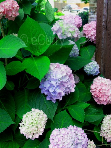 hydrangea 2 copy
