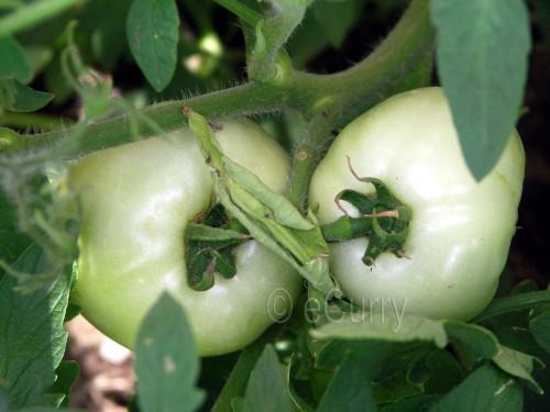 yard-tomatoes