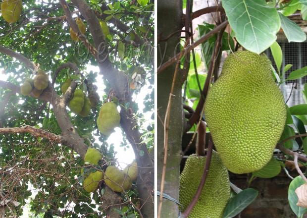 jackfruit/kathal/Artocarpus heterophyllus/A. heterophylla