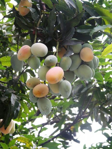 mango /ripe mango/aam