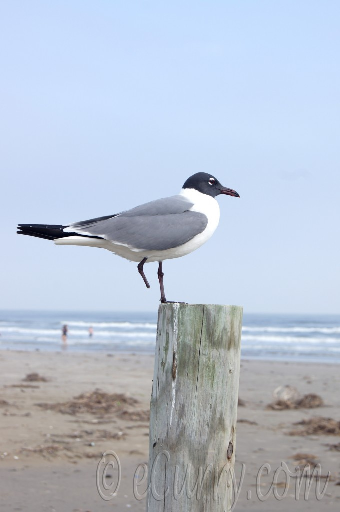 seagull, galveston beach