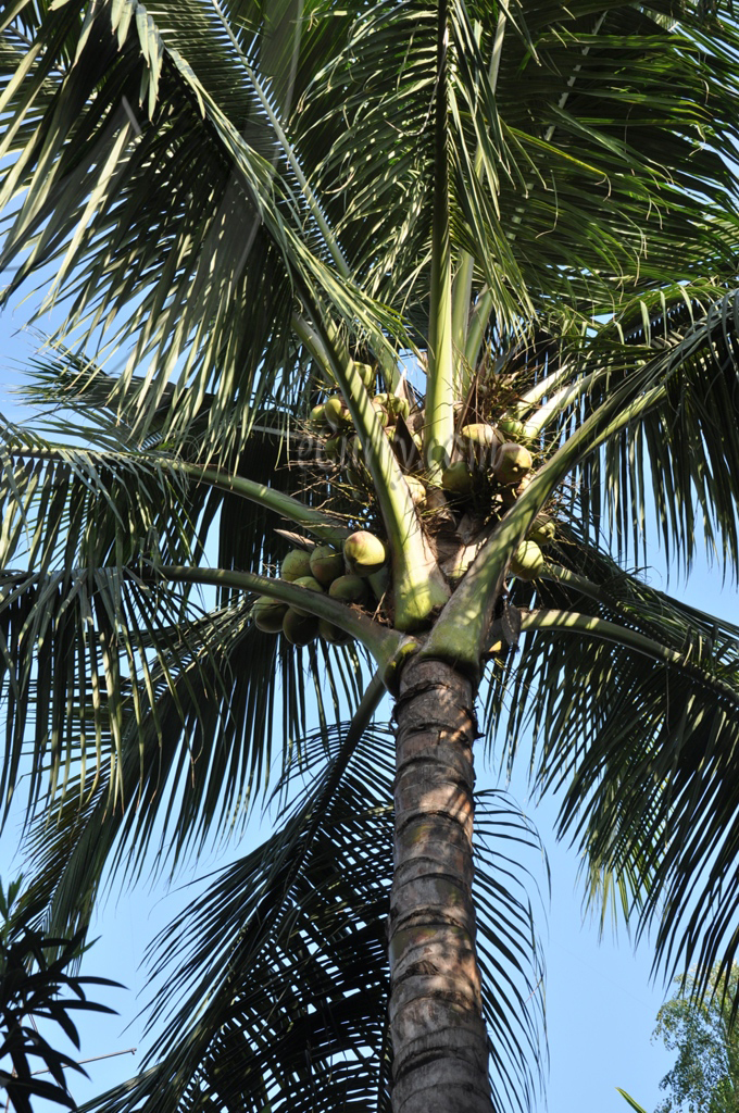 coconut tree 3