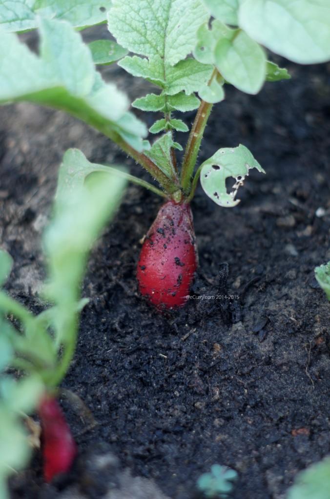 raw radish 1