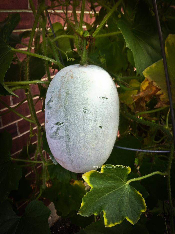 ash gourd 1